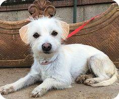 06/13/16 SL~~~Coton de Tulear/Westie, West Highland White Terrier Mix Dog for adoption in Santa Ana, California - Charlott