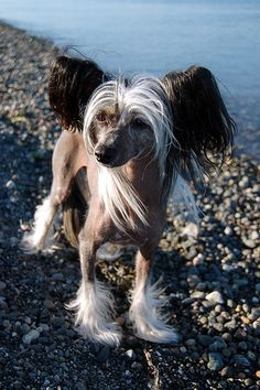 Chinese crested. Perfect cut. Have to show this to the groomer.... Looks like my Bella!!