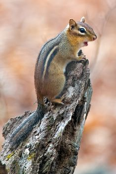 Chipmunk by Brian E. Animals And Pets, Baby Animals, North American Animals, Hamsters, Rodents, Wildlife Nature, Cute Animal Pictures, Fauna, Chipmunks