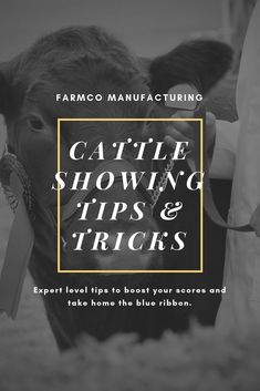When showing cattle, it's important to make sure your presentation displays your cattle well. Here are some cattle showing tips to maximize your chances to win. Livestock Judging, Showing Livestock, Showing Cattle, Calf Training, Training Tips, Show Cattle Barn, Teacup Pigs, Teacup Chihuahua, Steer Cow