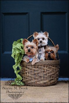 Pet Photography (Yorkies) ~ Stacey M. Brock Photography Kingsville, Ontario