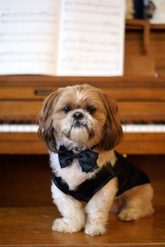 Sammy Dog - Coat and Tails: Shih tzu in suit & tie