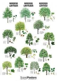 Image Result For English Tree Species