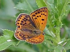 The Scarce Copper (Lycaena virgaureae), female butterfly
