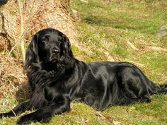Flat Coated Retriever. One of the best dogs I ever owned.