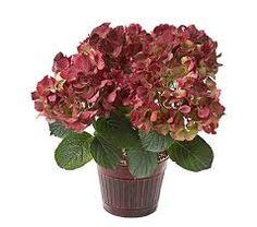 Hydrangea Vintage Harvest™ in 7 ribbed burgundy cachepot