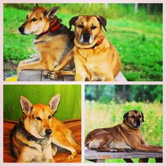 These 2 cougars Hilda (left) & Stella (right) believe they have their pick of the young handsome pups on the farm!  Sassy mamas eyeing the boys & taking over the picnic table! #evasplaypupspa #dogcamp #doggievacays #bffs #cougarsordogs #cougar #dogdaysofsummer #dogsofinstagram #endlessmountains #mountpleasant