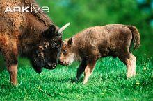 Female European bison and calf