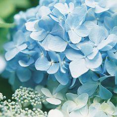 Few flowers say summer like hydrangeas.