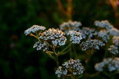 Krwawnik pospolity - Zastosowanie Dandelion, Diy, Fruit, Flowers, Plants, Bricolage, Dandelions, Do It Yourself, Plant