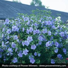 Blue Chiffon® Rose of Sharon | Naturehills.com Exotic Flowers, Large Flowers, Purple Flowers, Lilies Flowers, Garden Shrubs, Flowering Shrubs, Backyard Plants, Outdoor Plants, Rose Of Sharon Tree