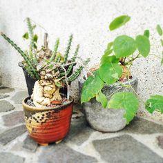 植物アプリの決定版 http://greensnap.jp  #植物好きと繋がりたい  #ボタニカル#ドライフラワー #多肉#多肉植物#多肉バカ同盟 #観葉植物 #ガーデニング #グリーンインテリア #園芸 #フラワー #花のある暮らし  #succulents #cactus#gardening #containergarden #flowerstagram #greenthumb #greenlife #containergarden #botanical#珍奇植物 #サボテン #ユーフォルビア #パキポディウム #根塊植物 #caudex #中目黒
