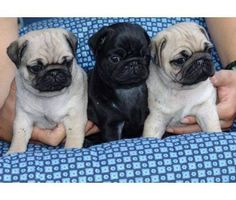 Cute Puppies Available is a Female Pug For Sale in Jacksonville FL Baby Pugs For Sale, Cute Baby Pugs, Pug Puppies For Sale, Cute Pug Puppies, Cute Dogs, Cute Little Animals, Funny Animals, Dog Cat, Pets