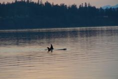Orcas as seen from Camano Island State Park 1/1/13 Sharon's Seams 2 B