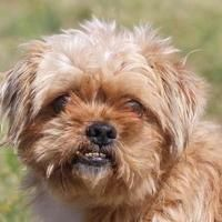 Pictures of Willis a Shih Tzu/Yorkie, Yorkshire Terrier Mix for adoption in Colorado Springs, CO who needs a loving home.