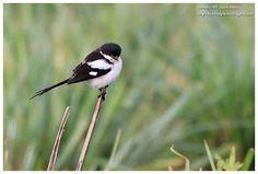 Birdwatching  and  Photography: De la pie-grièche aux pachydermes