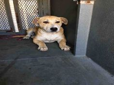 American Pit Bull Terrier dog for Adoption in Hanford, CA. ADN-818913 on PuppyFinder.com Gender: Female. Age: Young