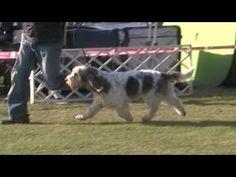 Nemzetközi Kutya kiállítás 2013.10.20.Komárom Monostori erőd. National Dog Show  Grand Basset Griffon Vendéen