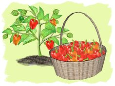How to Grow Peppers -- via wikiHow.com