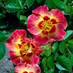 Sunshine Babylon Eyes (Persica Roses)