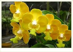 353 best yellow orchid images on pinterest in 2018 yellow orchid love yellow orchids mightylinksfo