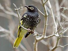 Regent Honeyeater - Paradise of birds