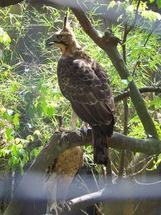 Javan Hawk-Eagle (Spizaetus bartelsi)
