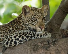 Leopard by wim claes on 500px