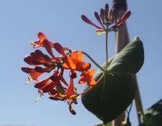 LONICERA x brownii 'Dropmore Scarlet' Scarlet, Plants, Plant, Scarlet Witch, Planting, Planets