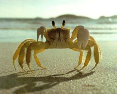 i love crabs! this picture reminds me of the  turtle show i saw where they were trying to get the baby turtles!