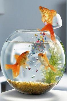 Goldfish feeding its friends