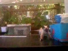 Gatos Siameses pequenos sempre brincalhões