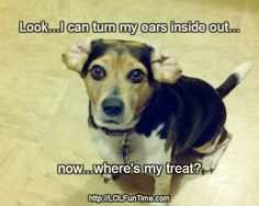 Beagle Ear Trick for a Treat