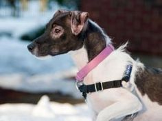CLARK is an adoptable Jack Russell Terrier (Parson Russell Terrier) Dog at our Boston shelter. Clark is an approx 1 year old jack russell terrier mix who was found as a stray.