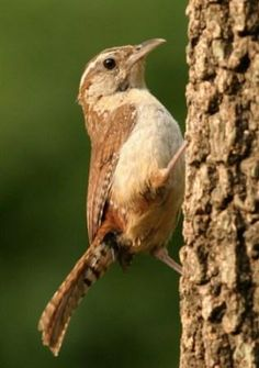 The Carolina Wren, sometimes referred to as the Great Carolina Wren, was adopted as the South Carolina state bird in 1948, replacing the Mockingbird. It can be found in a wide variety of habitats including fields, woodlands, and swamps.
