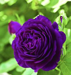 A rare and beautiful rose named Twilight Zone. Love the purple  color.