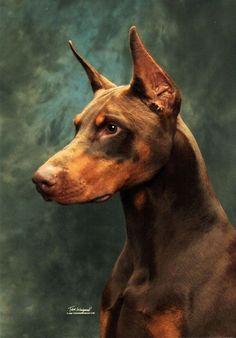Doberman Pinscher   PetSync #dobermanpinscher
