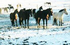 Hästar i snö  i Karlslund