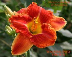 Daylily, Hemerocallis 'Walking into the Sun' (Niswonger, Exotic Flowers, Orange Flowers, Beautiful Flowers, Calla, My Secret Garden, Day Lilies, Flower Pictures, Dream Garden, Beautiful Gardens
