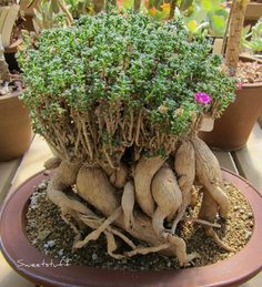 Trichodladema bulbosum (the african BONSAI) Weird Plants, Unusual Plants, Rare Plants, Cool Plants, Succulent Bonsai, Cacti And Succulents, Planting Succulents, Planting Flowers, Agaves