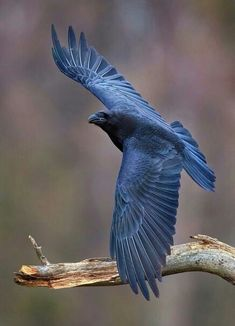 "birds in art Crows Ravens is part of Best Raven Bird Art Images In Ravens Drawings - thalassarche "" Common Raven (Corvus corax) photo by Eugenijus Kavaliauskas "" Pretty Birds, Beautiful Birds, Animals Beautiful, Raven Photography, Animal Photography, Crow Art, Bird Art, Corvo Tattoo, Nicolas Vanier"