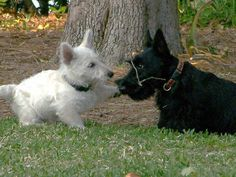 OUR PUPPY PICTURES — SCOTTISH TERRIERS, Scottish Terrier Pups, Idahoscotties.com
