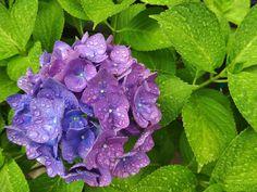 紫陽花 2013-06-11