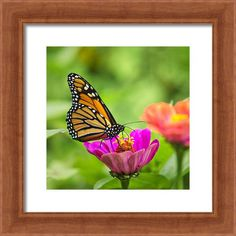 Monarch Butterfly Square Framed Print By Christina Rollo
