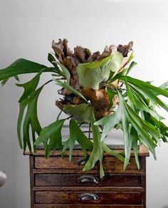 Move over succulents and fiddle leaf fig trees. The staghorn fern is alive and well in our design blogdom, with good reason. With large green leaves, and unusual shapes, there's almost something Dr. Seussian about these prehistoric plants. Often wall mounted or hung in baskets, they make for an otherworldly and interesting addition to your home. Check out these seven rooms where they've made an appearance, and see if you find yourself wanting one too...