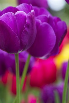 ~~Paint Your Colors Bright by Renae Smith ~ purple tulips~~