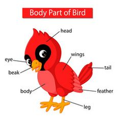 Diagram showing body part red cardinal bird Vector Image - Body Parts Learning English For Kids, English Lessons For Kids, Teaching English, Learn English, Kids Learning, Learning Spanish, Preschool Phonics, Preschool Activities, Listening Activities