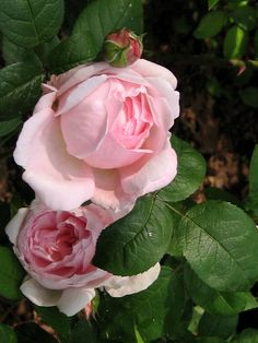 'Barbara Austin' | Shrub. English Rose Collection.  David C. H. Austin, 1997 | Flickr - © Eli's garden