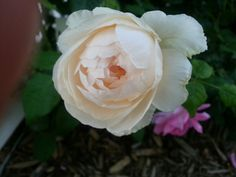 Wyndermere rose