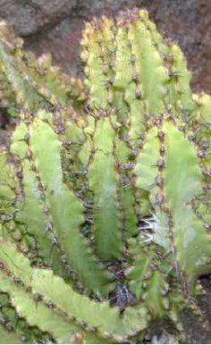 Euphorbia  memoralis